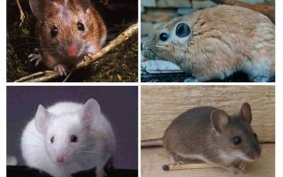 Con chuột lớn nhất thế giới