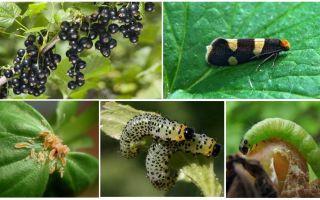 Làm thế nào để thoát khỏi sâu bướm trên nho