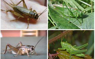 Sự khác biệt cricket và châu chấu