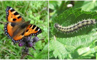 Caterpillars Nettle - Black Caterpillars trên Nettle