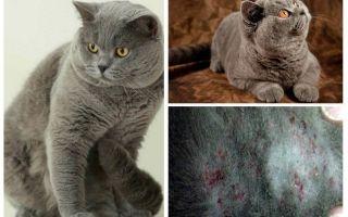 Làm thế nào để có được một con bọ chét từ một con mèo Anh