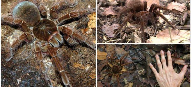 Mô tả và hình ảnh của loài nhện goliath