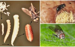 Điều gì sẽ xảy ra nếu bạn ăn trứng hoặc bay ấu trùng