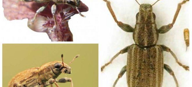 Tuber weevil - sâu bệnh đậu