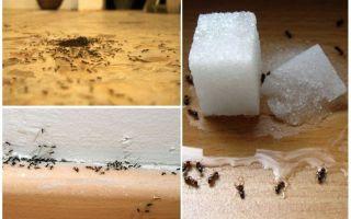 Làm thế nào để loại bỏ kiến từ một căn hộ ở nhà