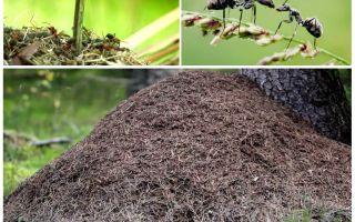 Ở phía nào của kiến cây sẽ xây kiến