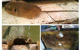Làm thế nào để lái một con chuột ra khỏi tổ ong vào mùa đông và mùa hè