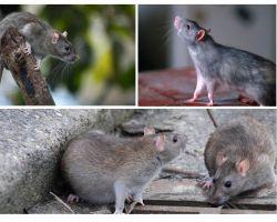 Đã có bao nhiêu năm con chuột sống