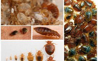Điều gì và làm thế nào để xử lý quần áo và những thứ từ bedbugs
