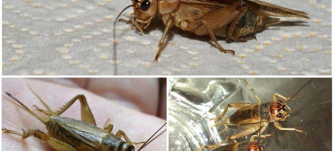 Mô tả và hình ảnh của cricket chuối