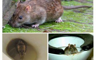 Một con chuột có thể ra khỏi nhà vệ sinh không