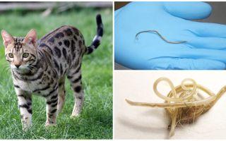 Các triệu chứng và điều trị giun đũa ở mèo