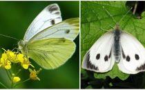 Mô tả và hình ảnh của sâu bướm và bướm bắp cải