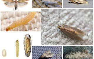Làm thế nào để đối phó với bướm đêm ở nhà