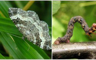 Mô tả, tên và ảnh các loại sâu bướm khác nhau