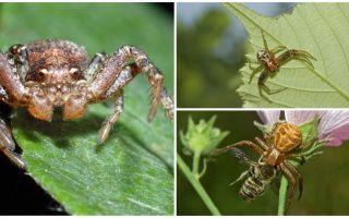 Mô tả và hình ảnh của nhện cua (không đẳng phương bokhoda)