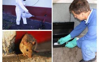 Tiêu diệt chuột và chuột bằng các dịch vụ chuyên dụng