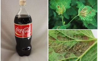 Coca-Cola từ rệp