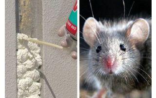 Chuột có ăn bọt không