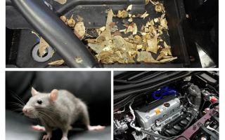 Làm thế nào để đưa chuột ra khỏi xe