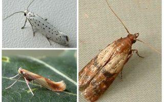 Tại sao sâu bướm không có vòi