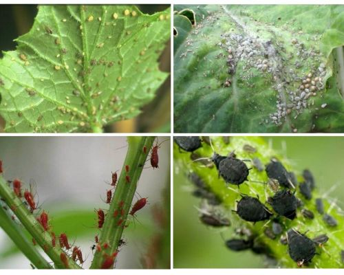 Làm thế nào để đối phó với rệp trong vườn và trong vườn của các biện pháp dân gian