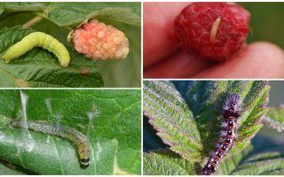 Làm thế nào để thoát khỏi sâu bướm trên quả mâm xôi