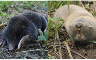 Sự khác biệt giữa chuột và chuột ruồi là gì?