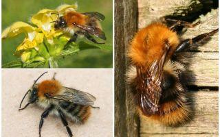 Mô tả và hình ảnh của ong trường