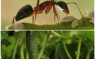 Làm thế nào để đối phó với kiến trong vườn với dưa chuột