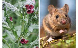Thực vật gốc đen từ chuột