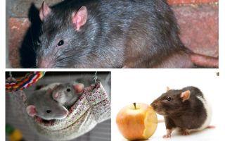 Thú vị chuột sự kiện