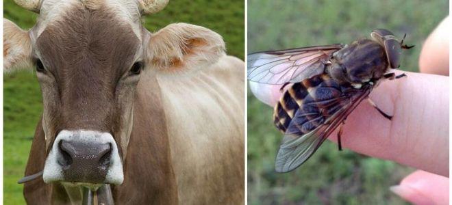 Làm thế nào để điều trị một con bò từ các loài bướm và các loài bướm ở nhà