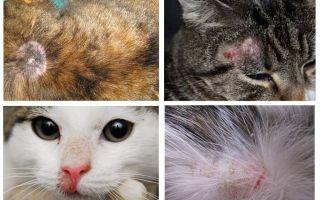 Tại sao một con mèo ngứa nếu không có bọ chét