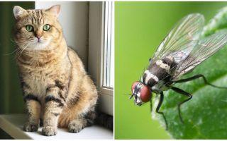 Phải làm gì nếu một con mèo hay mèo ăn một con ruồi