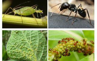Loại mối quan hệ của kiến và rệp