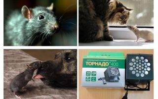 Chuột và chuột sợ là gì?