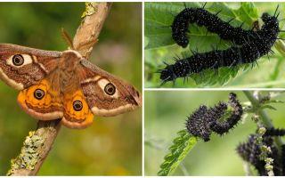 Mô tả và hình ảnh của con sâu bướm của mắt con công