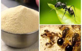 Manka từ những con kiến trong vườn