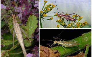 Mô tả và hình ảnh của cricket Crimean