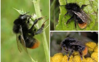 Mô tả và hình ảnh của một con ong đá
