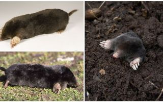 Common Moles (Châu Âu)