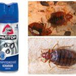 Raptor từ bedbugs