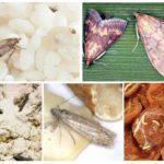 Các loại thực phẩm bướm đêm