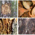 Bark beetle tracks