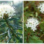 Ledumberry đầm lầy