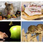 Con chuột ăn gì?