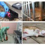 Tiêu diệt chuột và chuột