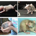 Chuột con chuột