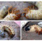Ấu trùng côn trùng